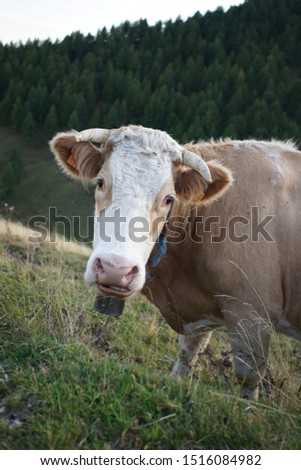 French cow in the alps at the end of the day #1516084982