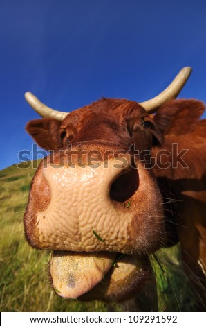 French cow sticking out tongue