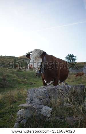 French cows in the Alps at the end of the day  #1516084328