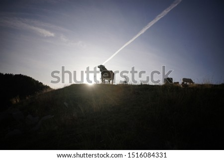 French cows in the Alps at the end of the day  #1516084331