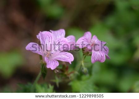 French cranesbill Rose Clair - Latin name - Geranium endressii Rose Clair