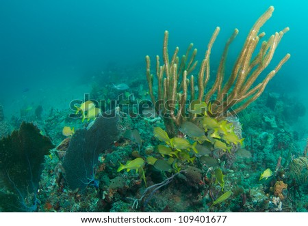 French Grunts hovering around a soft coral