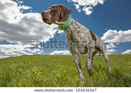 French hunting dog working in field with cloudy sky in the background
