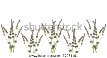 French Lavender Flowers Floral Herb Border For
