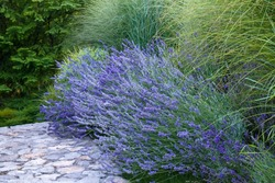 French lilac purple fragrant lavender and high ornamental maiden grass next to stones walkway in the garden flower bed