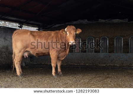 French Limousin cow, stands in full size in the barn, with muddy hooves, with light pink nose and udder, broken horns.  #1282193083