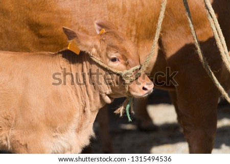 French Limousin veau tied with rope at the market #1315494536