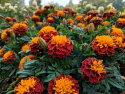 French marigold, is a species of flowering plant in the daisy family, native to Mexico and Guatemala with several naturalised populations in many other countries