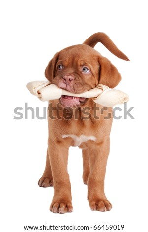 French Mastiff puppy holding Rawhide bone in its mouth, isolated on white background
