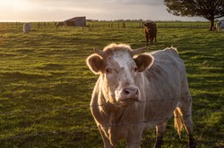 French milk cow in the farm at sunset, near lyons la foret, eure, upper normandy, france