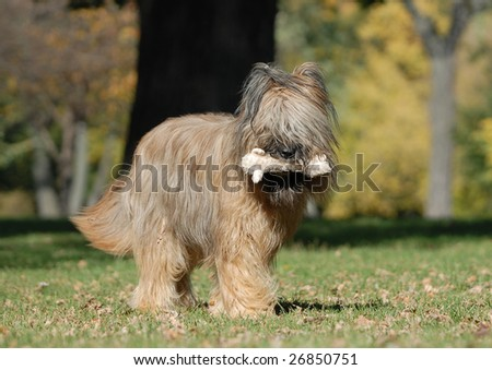 french shepherd briard