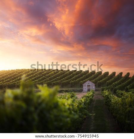 French vineyard at sunset