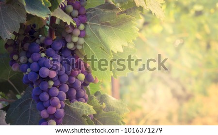 French vineyard with ripe grapes at blur background - view on the multicolored vine berry with sunset light and negative space for your lettering or text about winemaking or wine industry.