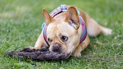 Frenchie chewing on tree bark. Off-leash dog park in Northern California.