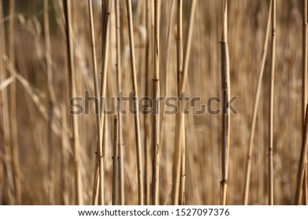 Frequent dry escapes of reed create a background of beige color. On a beige background fragments of beige escapes. #1527097376