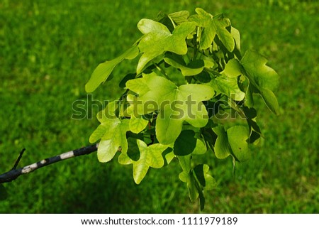 Fresch spring leaves cluster of American sweetgum tree Liquidambar Styraciflua, also known as American Storax, blisted, hazel pine or redgum, latin name Liquidambar Styraciflua