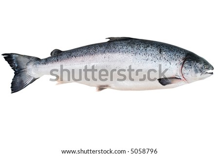 Fresh Alaskan King Salmon isolated on the white