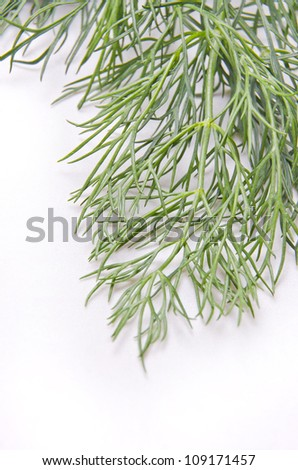 Fresh and aromatic green dill leaf.