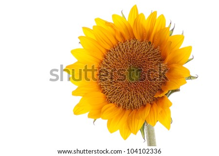 Fresh and beautiful sun flower with copy space on the white background