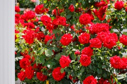 Fresh and colorful roses in full bloom