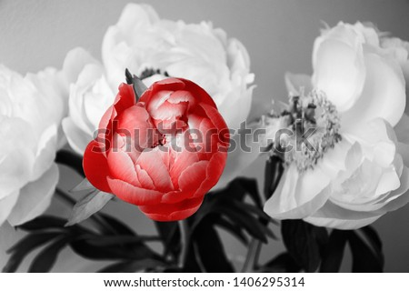 Fresh and Fading peony flowers bouquet background. Falling petals. Funeral flowers; mourning card; life death grief concept. Abstract retro art. Different, unique idea. Black white red toned photo.