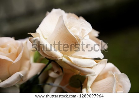 Fresh and fragrant roses, detail of romanticism and love #1289097964