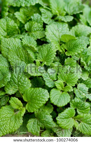 fresh and green mint leafs in garden