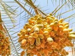 fresh and healthy growing palm tree dates fruit
