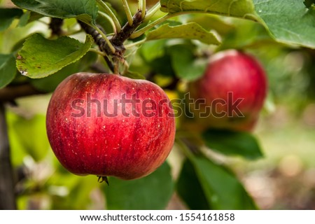 fresh and juicy apples ready for harvest in the apple plantation Stock foto ©