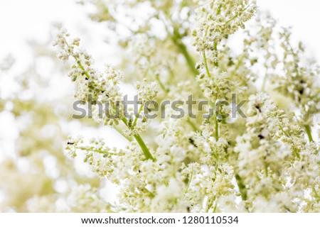 Fresh and organic rhubarg flower, rheum rhabarbarum inflorescence or blossoms