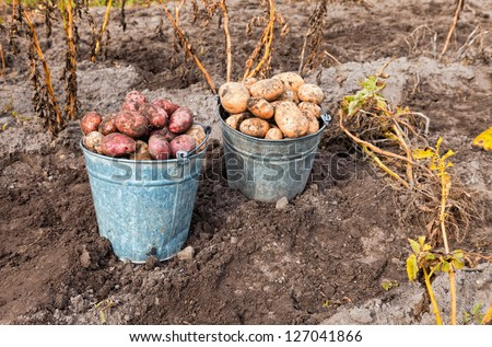 Fresh and raw potato at the field