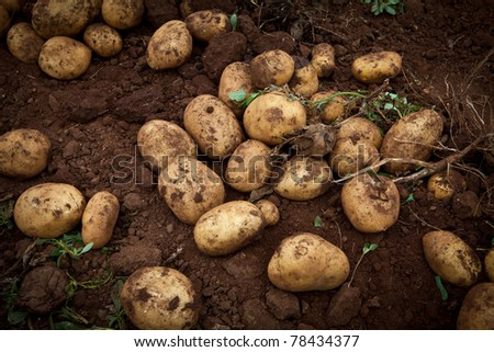 fresh and raw potato on a field