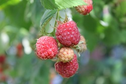 Fresh and sweet red raspberries branch on raspberry fruit garden background. Ripe organic raspberries harvest grow on farm plantation. Delicious red rasp berries bush closeup on orchard background