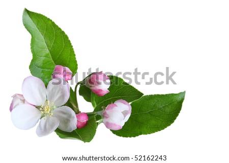 Fresh apple blossom isolated on white background