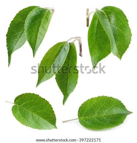 Fresh apple leaf isolated on white. Collection.