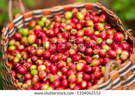 Fresh Arabica coffee berries in basket. Organic coffee farm on Bolaven Plateau, a coffee grower's utopia. Pakse, Laos. Rainy season. Close-up. Soft sunlight.