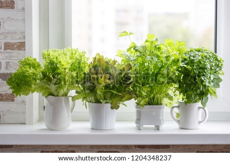 Fresh aromatic culinary herbs in white pots on windowsill. Lettuce, leaf celery and small leaved basil. Kitchen garden of herbs.