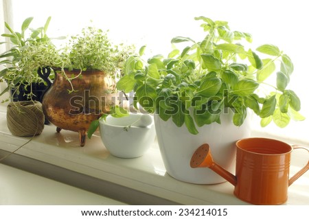 Fresh aromatic herbs in pots on window