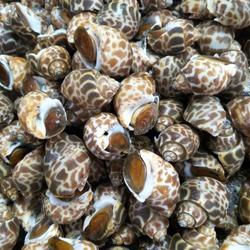 Fresh Babylonia Areolata or sweet shellfish in Thailand seafood market