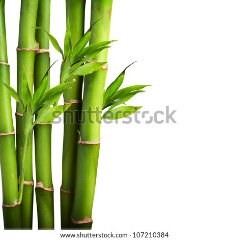 Fresh bamboo isolated on white background