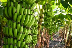 Fresh banana from organic Field. Organic foods background. Banana (musa) crop or field with fruits. agricultural background. planting at agriculture  field, India.