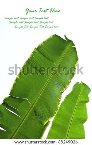 Fresh Banana Leaf Isolated on white