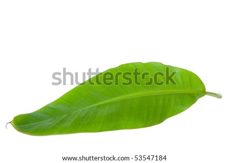 Fresh Banana Leaf Isolated with clipping path