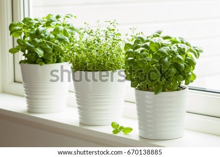Shutterstock fresh basil and thyme herb in pot