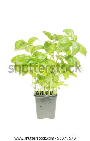 Fresh basil herb growing in a pot isolated against white