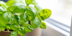 Fresh basil herb in a pot. Indoor plant growing in a pot on a white kitchen windowsill. Dense green leaves of an aromatic herb. Selective focus, copy space.