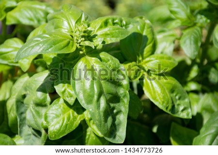 Fresh basil in a farmer agricultural open air market, seasonal healthy food. Concept of biological, bio products, bio ecology, grown by yourself, vegetarians #1434773726