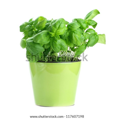 Fresh basil in a green pot on white background