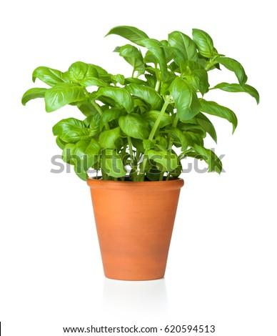 Fresh basil in ceramic pot isolated on white background #620594513
