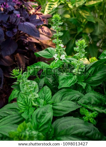 fresh basil leaves, green basil leaves ready to taste the tasty kitchen recipes, herb background